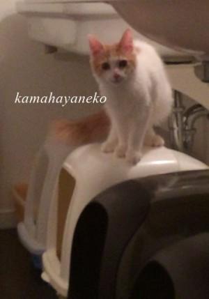 猫トイレ6