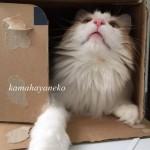 ダンボール猫8
