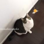 猫あそび1