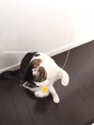 猫あそび5