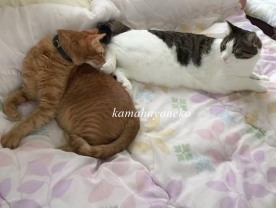猫昼寝10